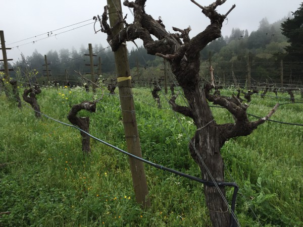 Vines grow at Benziger Winery, a family owned vineyard run biodynamically. (Emi Kolawole)